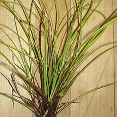 Leaves: Carex lucorum. ~ By Jill Weber. ~ Copyright © 2020 Jill Weber. ~ jillweber03[at]gmail.com