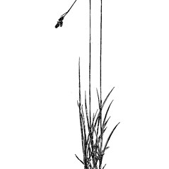 Plant form: Carex media. ~ By Charles Feddema. ~  Public Domain. ~  ~ Hermann, Frederick J. 1970. Manual of the Carices of the Rocky Mountains and Colorado Basin, US Forest Service, USDA, Agriculture Handbook No. 374, 397pp., US Government Printing Office, Washington, DC 20402