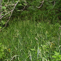 Plant form: Carex mitchelliana. ~ By Arthur Haines. ~ Copyright © 2021. ~ arthurhaines[at]wildblue.net