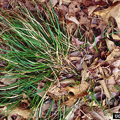 Plant form: Carex nigromarginata. ~ By Charles Bryson. ~ Copyright © 2019 CC BY-NC 3.0. ~  ~ Bugwood - www.bugwood.org/