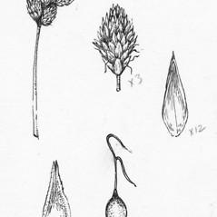 Achenes: Carex oronensis. ~ By Tess Feltes. ~  Public Domain. ~  ~ U. of New Hampshire