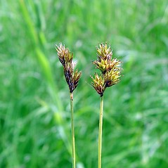 Comparison: Carex oronensis. ~ By Arthur Haines. ~ Copyright © 2020. ~ arthurhaines[at]wildblue.net