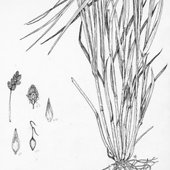 Plant form: Carex oronensis. ~ By Tess Feltes. ~  Public Domain. ~  ~ U. of New Hampshire