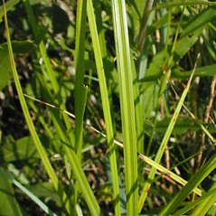 Leaves: Carex pellita. ~ By John Hilty. ~ Copyright © 2021 John Hilty. ~ john[at]illinoiswildflowers.info ~ Illinois Wildflowers - www.illinoiswildflowers.info/index.htm