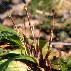 Plant form: Carex plantaginea. ~ By Arthur Haines. ~ Copyright © 2020. ~ arthurhaines[at]wildblue.net