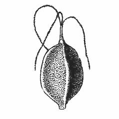 Achenes: Carex platyphylla. ~ By Harry Creutzburg. ~ Copyright © 2021 The New York Botanical Garden. ~ http://www.copyright.com ~ Kenneth K. Mackenzie. North American Cariceae, Vols. 1 & 2. Copyright 1940 The New York Botanical Garden