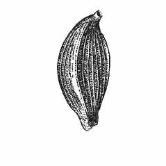 Perigynia: Carex platyphylla. ~ By Harry Creutzburg. ~ Copyright © 2021 The New York Botanical Garden. ~ http://www.copyright.com ~ Kenneth K. Mackenzie. North American Cariceae, Vols. 1 & 2. Copyright 1940 The New York Botanical Garden