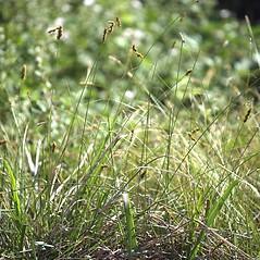 Plant form: Carex praegracilis. ~ By Steve Matson. ~ Copyright © 2020 Steve Matson. ~ No permission needed for non-commercial, educational uses, with proper credit ~ CalPhotos - calphotos.berkeley.edu/flora/