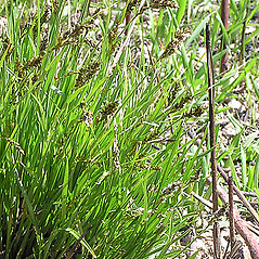 Plant form: Carex prairea. ~ By Chicago Botanic Garden . ~ Copyright © 2021 CC BY-NC-SA 3.0. ~ None required ~ Morphbank - Biological Imaging - www.morphbank.net