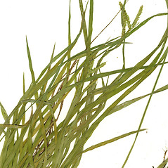 Leaves: Carex prasina. ~ By CONN Herbarium. ~ Copyright © 2020 CONN Herbarium. ~ Requests for image use not currently accepted by copyright holder ~ U. of Connecticut Herbarium - bgbaseserver.eeb.uconn.edu/