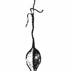 Achenes: Carex pseudocyperus. ~ By Harry Creutzburg. ~ Copyright © 2020 The New York Botanical Garden. ~ http://www.copyright.com ~ Kenneth K. Mackenzie. North American Cariceae, Vols. 1 & 2. Copyright 1940 The New York Botanical Garden