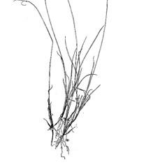 Plant form: Carex rariflora. ~ By Harry Creutzburg. ~ Copyright © 2021 The New York Botanical Garden. ~ http://www.copyright.com ~ Kenneth K. Mackenzie. North American Cariceae, Vols. 1 & 2. Copyright 1940 The New York Botanical Garden