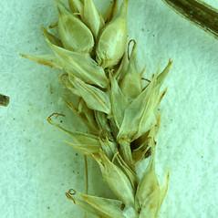 Perigynia: Carex retroflexa. ~ By Steve Matson. ~ Copyright © 2021 Steve Matson. ~ No permission needed for non-commercial, educational uses, with proper credit ~ CalPhotos - calphotos.berkeley.edu/flora/