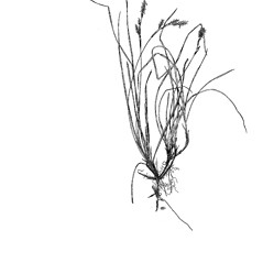Plant form: Carex richardsonii. ~ By Harry Creutzburg. ~ Copyright © 2020 The New York Botanical Garden. ~ http://www.copyright.com ~ Kenneth K. Mackenzie. North American Cariceae, Vols. 1 & 2. Copyright 1940 The New York Botanical Garden