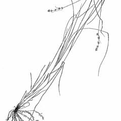 Plant form: Carex rosea. ~ By Harry Creutzburg. ~ Copyright © 2020 The New York Botanical Garden. ~ http://www.copyright.com ~ Kenneth K. Mackenzie. North American Cariceae, Vols. 1 & 2. Copyright 1940 The New York Botanical Garden