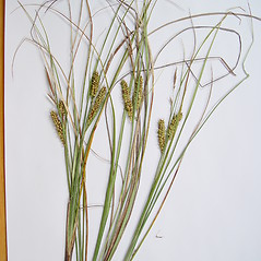 Plant form: Carex rostrata. ~ By Donald Cameron. ~ Copyright © 2020 Donald Cameron. ~ No permission needed for non-commercial uses, with proper credit