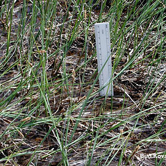 Plant form: Carex saxatilis. ~ By Bud Kovalchik. ~ Copyright © 2020 Bud Kovalchik. ~ bkovalchik7[at]gmail.com ~ U. of Washington - WTU - Herbarium - biology.burke.washington.edu/herbarium/imagecollection.php