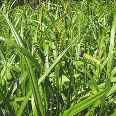 Plant form: Carex scabrata. ~ By Marilee Lovit. ~ Copyright © 2020 Marilee Lovit. ~ lovitm[at]gmail.com
