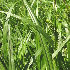 Leaves: Carex scabrata. ~ By Marilee Lovit. ~ Copyright © 2020 Marilee Lovit. ~ lovitm[at]gmail.com