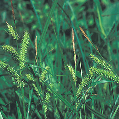 Inflorescence: Carex schweinitzii. ~ By Bruce Sorrie. ~ Copyright © 2020 New England Wild Flower Society. ~ Image Request, images[at]newenglandwild.org