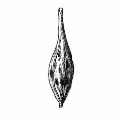 Perigynia: Carex schweinitzii. ~ By Harry Creutzburg. ~ Copyright © 2020 The New York Botanical Garden. ~ http://www.copyright.com ~ Kenneth K. Mackenzie. North American Cariceae, Vols. 1 & 2. Copyright 1940 The New York Botanical Garden