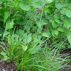 Plant form: Carex scirpoidea. ~ By Arthur Haines. ~ Copyright © 2020. ~ arthurhaines[at]wildblue.net
