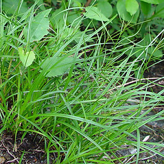 Leaves: Carex scirpoidea. ~ By Arthur Haines. ~ Copyright © 2020. ~ arthurhaines[at]wildblue.net