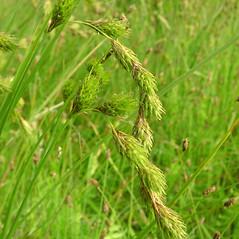 Inflorescence: Carex scoparia. ~ By Glen Mittelhauser. ~ Copyright © 2020 Glen Mittelhauser. ~ www.mainenaturalhistory.org