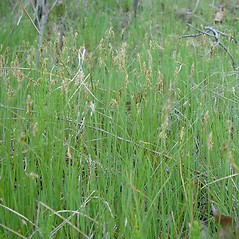 Plant form: Carex siccata. ~ By Arthur Haines. ~ Copyright © 2020. ~ arthurhaines[at]wildblue.net