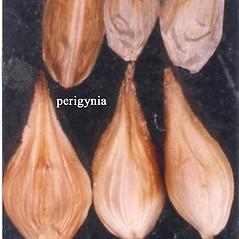 Perigynia: Carex siccata. ~ By USDA-NRCS PLANTS Database. ~  Public Domain. ~ None needed ~ USDA-NRCS Plants Database - plants.usda.gov/java/
