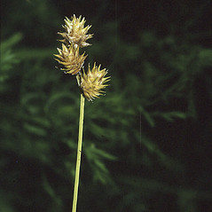 Inflorescence: Carex straminea. ~ By Robert H. Mohlenbrock. ~  Public Domain. ~  ~ Encyclopedia of Life - www.eol.org