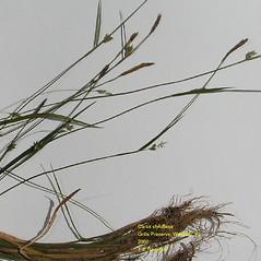 Plant form: Carex styloflexa. ~ By Thomas Rawinski. ~ Copyright © 2021 Thomas Rawinski. ~ No permission needed, any use permitted