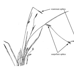 Inflorescence: Carex styloflexa. ~ By Harry Creutzburg. ~ Copyright © 2021 The New York Botanical Garden. ~ http://www.copyright.com ~ Kenneth K. Mackenzie. North American Cariceae, Vols. 1 & 2. Copyright 1940 The New York Botanical Garden