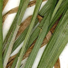 Leaves: Carex swanii. ~ By CONN Herbarium. ~ Copyright © 2019 CONN Herbarium. ~ Requests for image use not currently accepted by copyright holder ~ U. of Connecticut Herbarium - bgbaseserver.eeb.uconn.edu/
