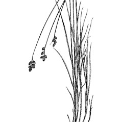 Plant form: Carex tincta. ~ By Charles Feddema. ~  Public Domain. ~  ~ Hermann, Frederick J. 1970. Manual of the Carices of the Rocky Mountains and Colorado Basin, US Forest Service, USDA, Agriculture Handbook No. 374, 397pp., US Government Printing Office, Washington, DC 20402