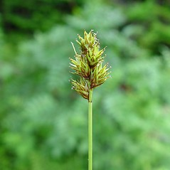 Inflorescence: Carex tincta. ~ By Arthur Haines. ~ Copyright © 2020. ~ arthurhaines[at]wildblue.net