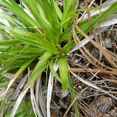Inflorescence: Carex tonsa. ~ By Jill Weber. ~ Copyright © 2021 Jill Weber. ~ jillweber03[at]gmail.com