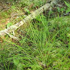 Plant form: Carex trisperma. ~ By Glen Mittelhauser. ~ Copyright © 2021 Glen Mittelhauser. ~ www.mainenaturalhistory.org