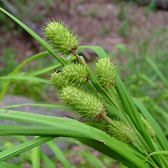Inflorescence: Carex typhina. ~ By Arthur Haines. ~ Copyright © 2020. ~ arthurhaines[at]wildblue.net