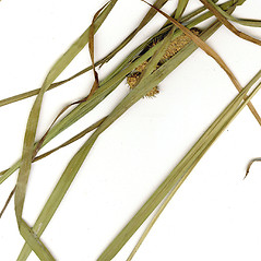Leaves: Carex typhina. ~ By CONN Herbarium. ~ Copyright © 2020 CONN Herbarium. ~ Requests for image use not currently accepted by copyright holder ~ U. of Connecticut Herbarium - bgbaseserver.eeb.uconn.edu/