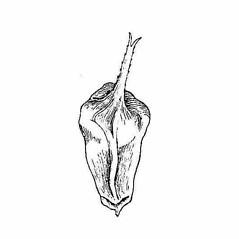 Perigynia: Carex typhina. ~ By Harry Creutzburg. ~ Copyright © 2021 The New York Botanical Garden. ~ http://www.copyright.com ~ Kenneth K. Mackenzie. North American Cariceae, Vols. 1 & 2. Copyright 1940 The New York Botanical Garden