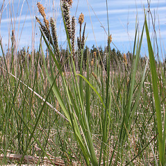 Plant form: Carex vacillans. ~ By Marilee Lovit. ~ Copyright © 2020 Marilee Lovit. ~ lovitm[at]gmail.com