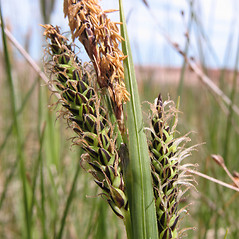 Perigynia: Carex vacillans. ~ By Marilee Lovit. ~ Copyright © 2020 Marilee Lovit. ~ lovitm[at]gmail.com