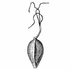 Achenes: Carex vestita. ~ By Harry Creutzburg. ~ Copyright © 2021 The New York Botanical Garden. ~ http://www.copyright.com ~ Kenneth K. Mackenzie. North American Cariceae, Vols. 1 & 2. Copyright 1940 The New York Botanical Garden