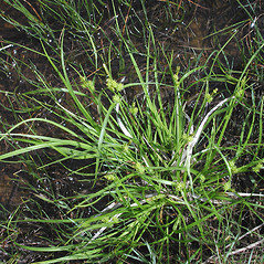 Plant form: Carex viridula. ~ By Marilee Lovit. ~ Copyright © 2020 Marilee Lovit. ~ lovitm[at]gmail.com