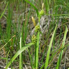 Inflorescence: Carex viridula. ~ By Glen Mittelhauser. ~ Copyright © 2021 Glen Mittelhauser. ~ www.mainenaturalhistory.org