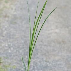 Leaves: Carex vulpinoidea. ~ By Arieh Tal. ~ Copyright © 2020 Arieh Tal. ~ www.nttlphoto.com ~ Arieh Tal - www.nttlphoto.com