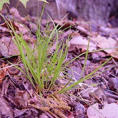 Plant form: Carex willdenowii. ~ By Arthur Haines. ~ Copyright © 2020. ~ arthurhaines[at]wildblue.net