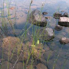 Plant form: Cladium mariscoides. ~ By Marilee Lovit. ~ Copyright © 2021 Marilee Lovit. ~ lovitm[at]gmail.com