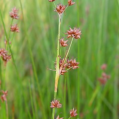 Inflorescences: Cladium mariscoides. ~ By Arthur Haines. ~ Copyright © 2020. ~ arthurhaines[at]wildblue.net